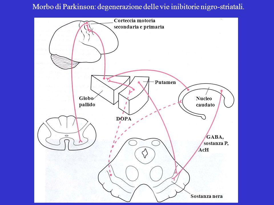 Morbo di Parkinson: degenerazione delle vie inibitorie nigro-striatali.