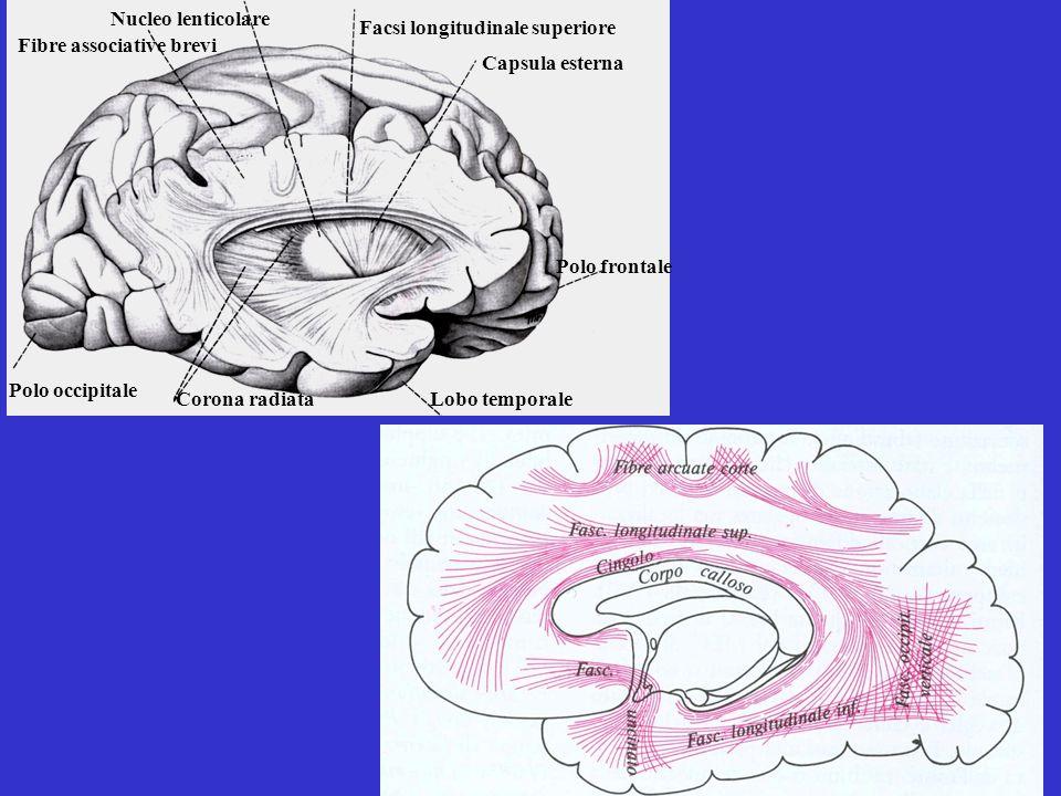 Nucleo lenticolare Facsi longitudinale superiore. Fibre associative brevi. Capsula esterna. Polo frontale.