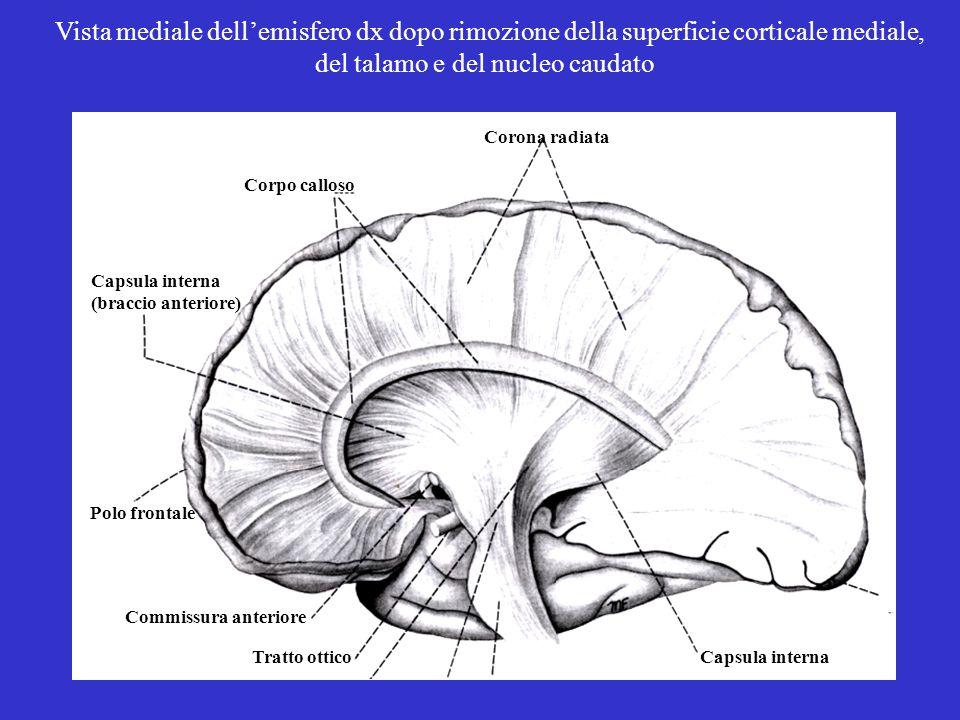 del talamo e del nucleo caudato
