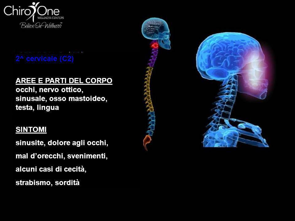 2^ cervicale (C2) AREE E PARTI DEL CORPO. occhi, nervo ottico, sinusale, osso mastoideo, testa, lingua.