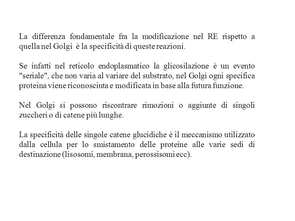 La differenza fondamentale fra la modificazione nel RE rispetto a quella nel Golgi è la specificità di queste reazioni.
