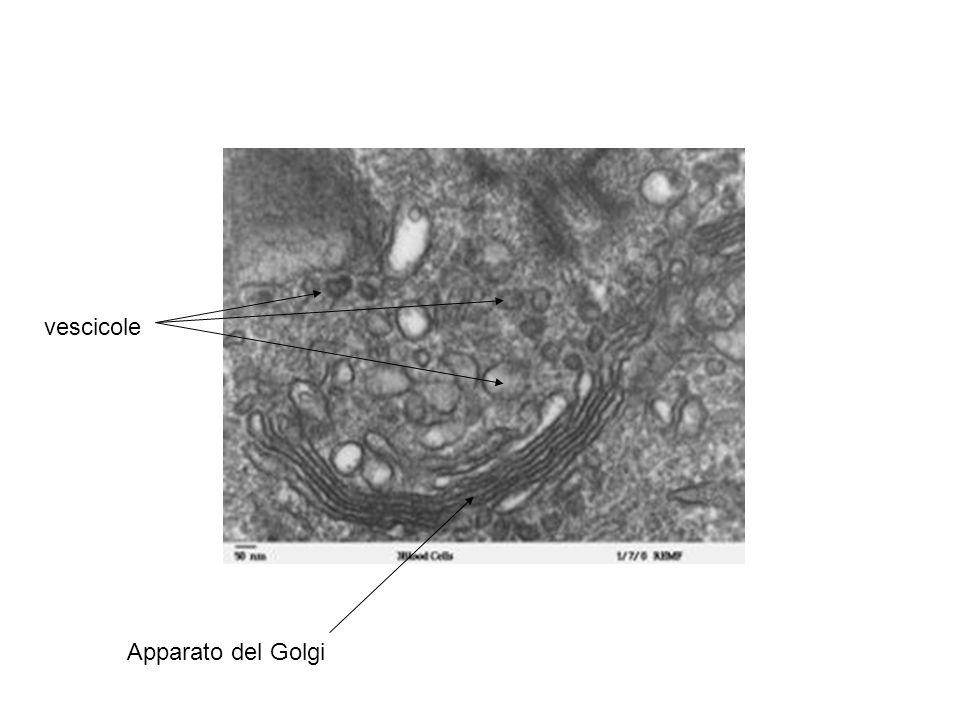 vescicole Apparato del Golgi