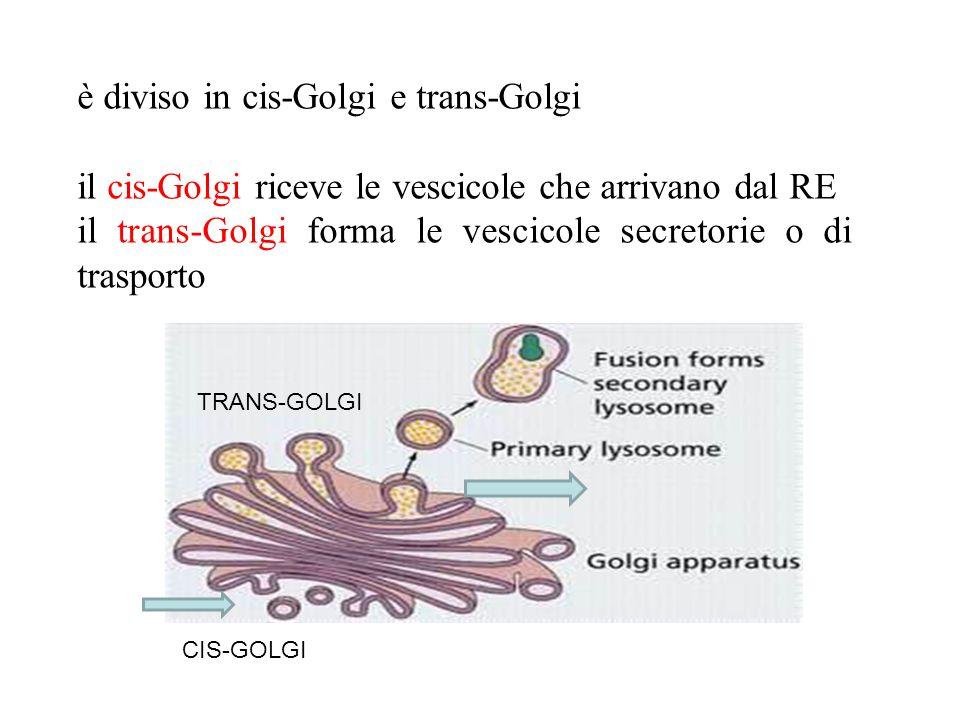 è diviso in cis-Golgi e trans-Golgi
