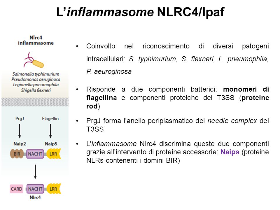 L'inflammasome NLRC4/Ipaf