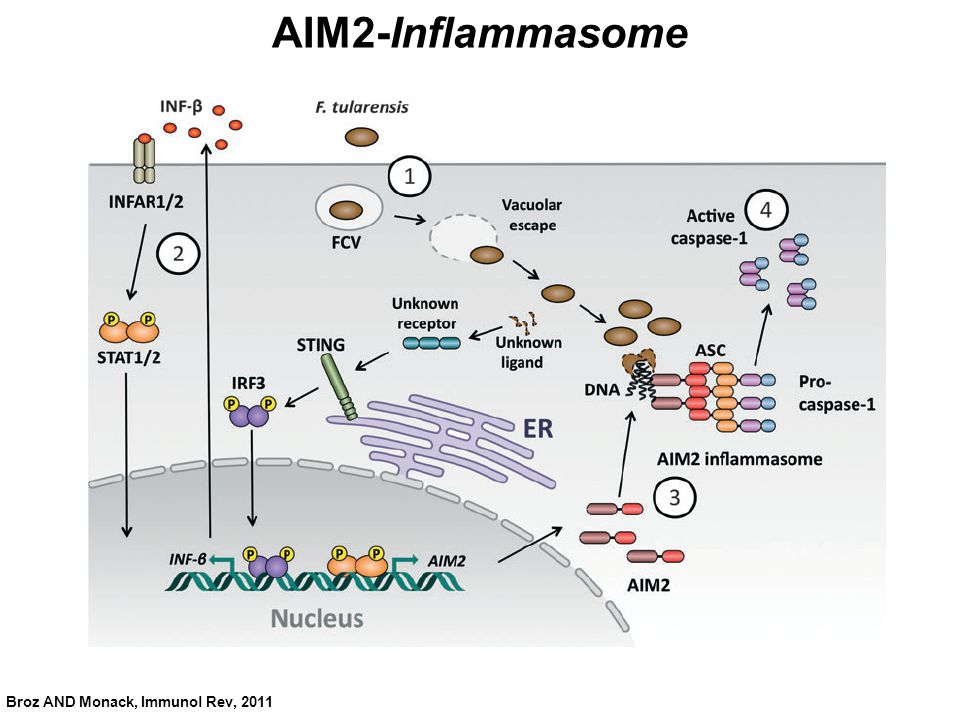 AIM2-Inflammasome Broz AND Monack, Immunol Rev, 2011