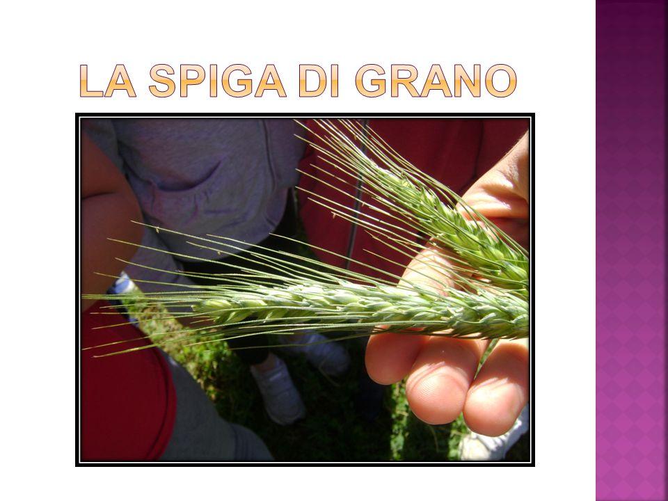 La spiga di grano