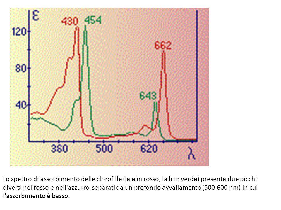 Lo spettro di assorbimento delle clorofille (la a in rosso, la b in verde) presenta due picchi diversi nel rosso e nell azzurro, separati da un profondo avvallamento (500-600 nm) in cui l assorbimento è basso.