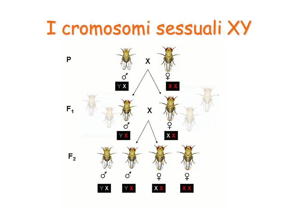 I cromosomi sessuali XY