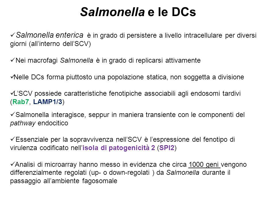 Salmonella e le DCs Salmonella enterica è in grado di persistere a livello intracellulare per diversi giorni (all'interno dell'SCV)