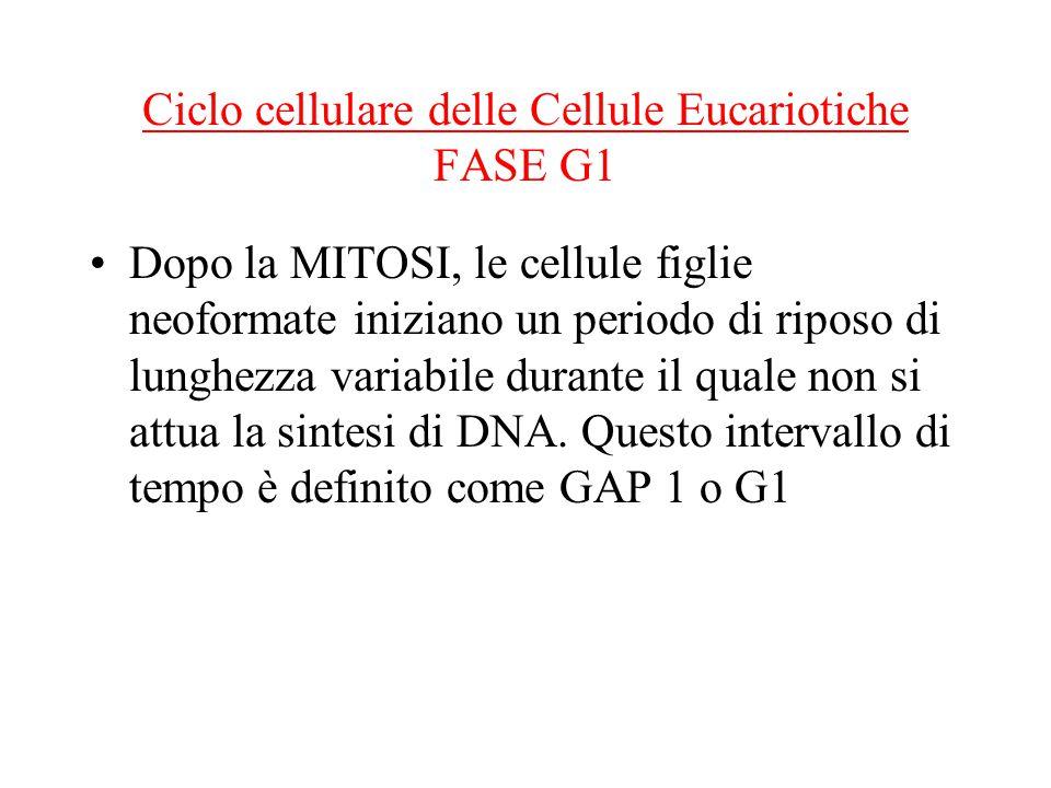 Ciclo cellulare delle Cellule Eucariotiche FASE G1