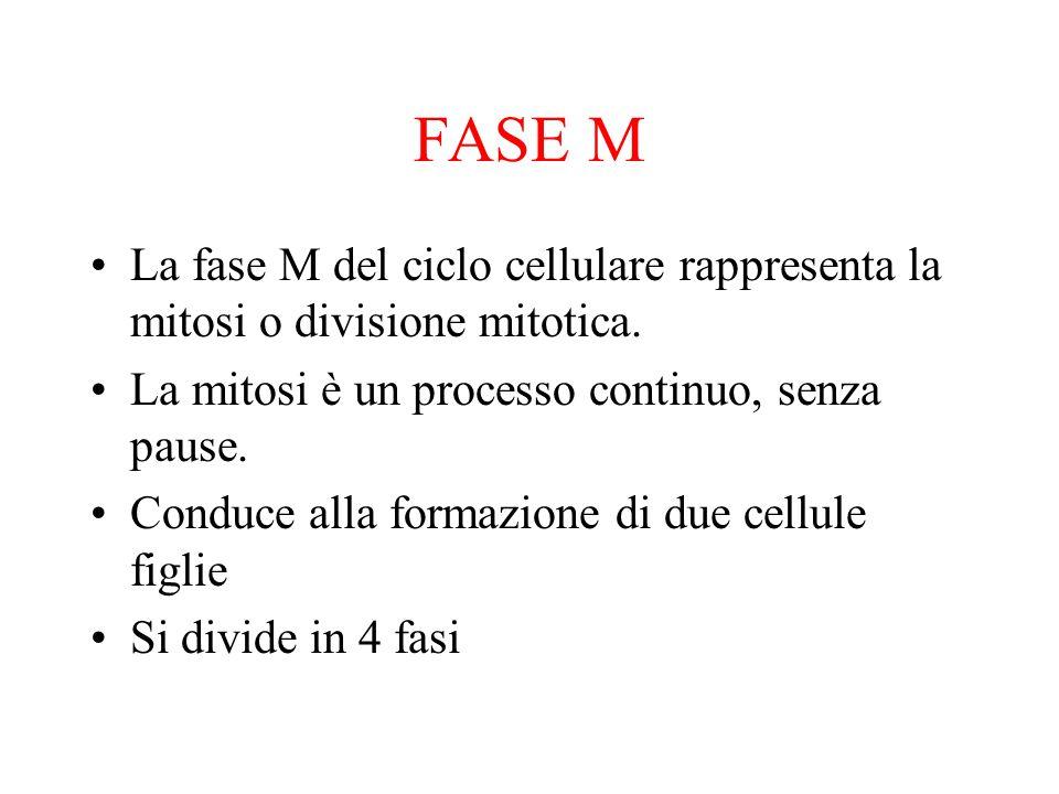 FASE M La fase M del ciclo cellulare rappresenta la mitosi o divisione mitotica. La mitosi è un processo continuo, senza pause.