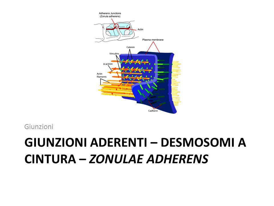 Giunzioni aderenti – desmosomi a cintura – zonulae adherens