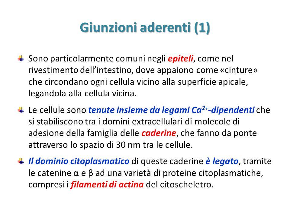 Giunzioni aderenti (1)