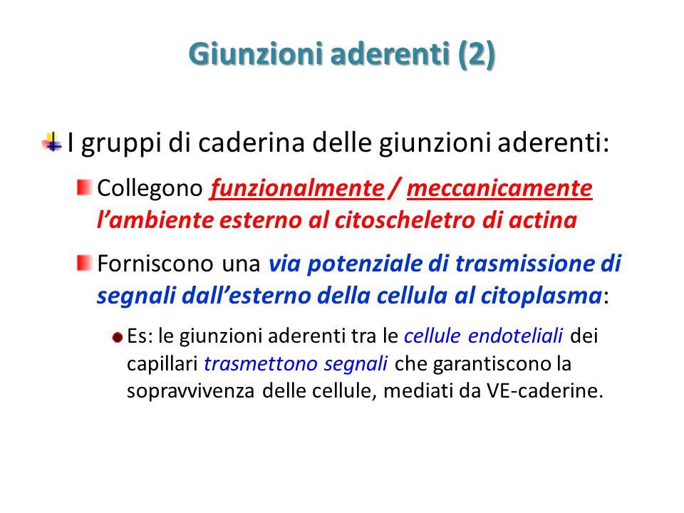 Giunzioni aderenti (2) I gruppi di caderina delle giunzioni aderenti: