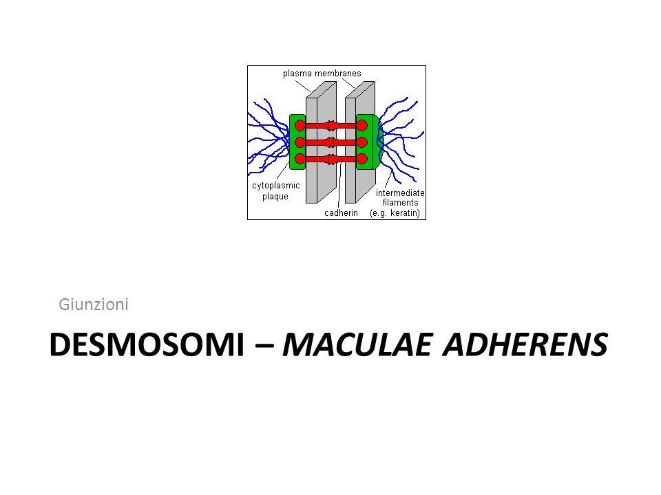 Desmosomi – maculae adherens