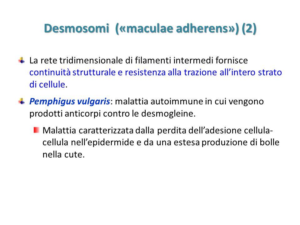 Desmosomi («maculae adherens») (2)