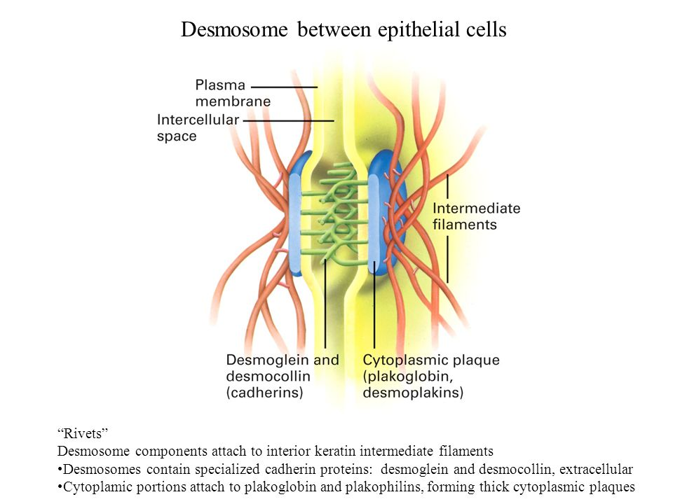 Desmosome between epithelial cells