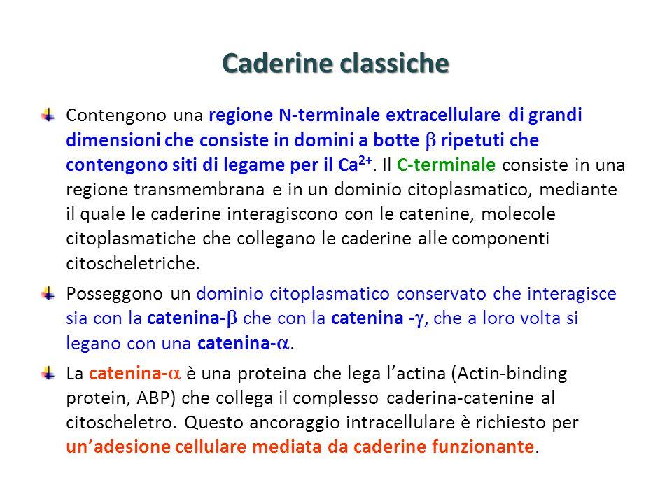 Caderine classiche