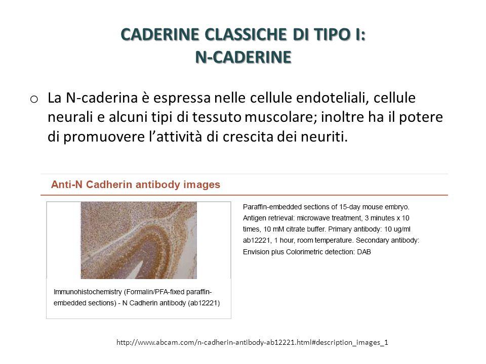 CADERINE CLASSICHE DI TIPO I: N-CADERINE