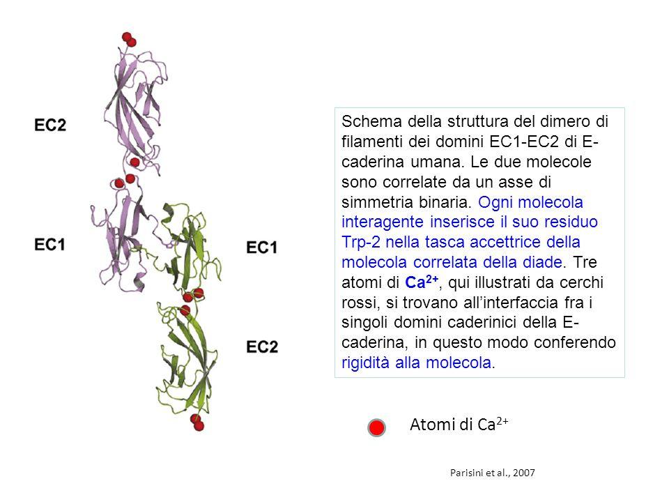 Schema della struttura del dimero di filamenti dei domini EC1-EC2 di E-caderina umana. Le due molecole sono correlate da un asse di simmetria binaria. Ogni molecola interagente inserisce il suo residuo Trp-2 nella tasca accettrice della molecola correlata della diade. Tre atomi di Ca2+, qui illustrati da cerchi rossi, si trovano all'interfaccia fra i singoli domini caderinici della E-caderina, in questo modo conferendo rigidità alla molecola.
