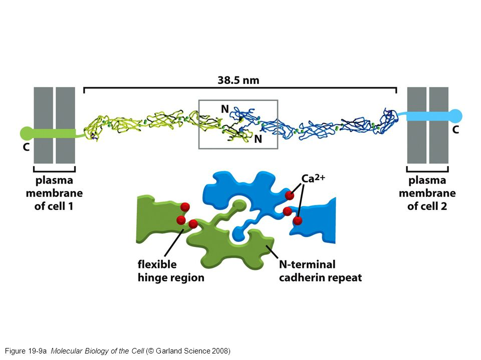 Figure 19-9a Molecular Biology of the Cell (© Garland Science 2008)