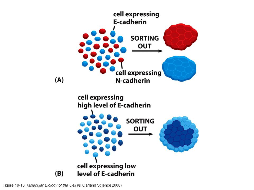 Figure 19-13 Molecular Biology of the Cell (© Garland Science 2008)