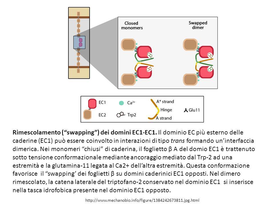 Rimescolamento ( swapping ) dei domini EC1-EC1