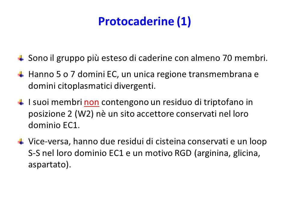 Protocaderine (1) Sono il gruppo più esteso di caderine con almeno 70 membri.
