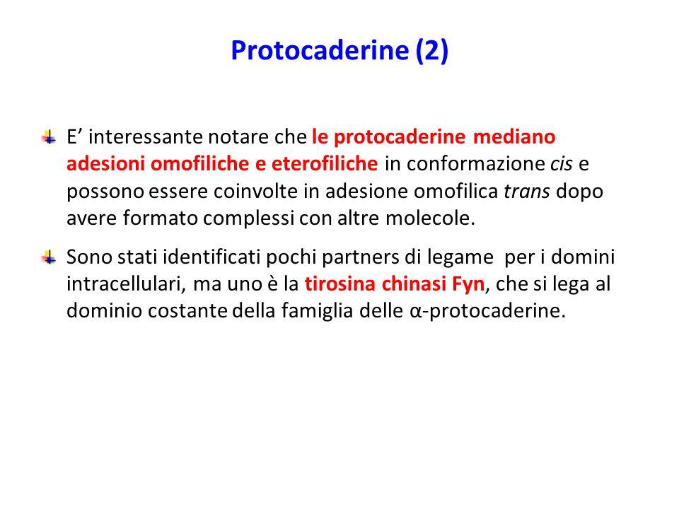 Protocaderine (2)