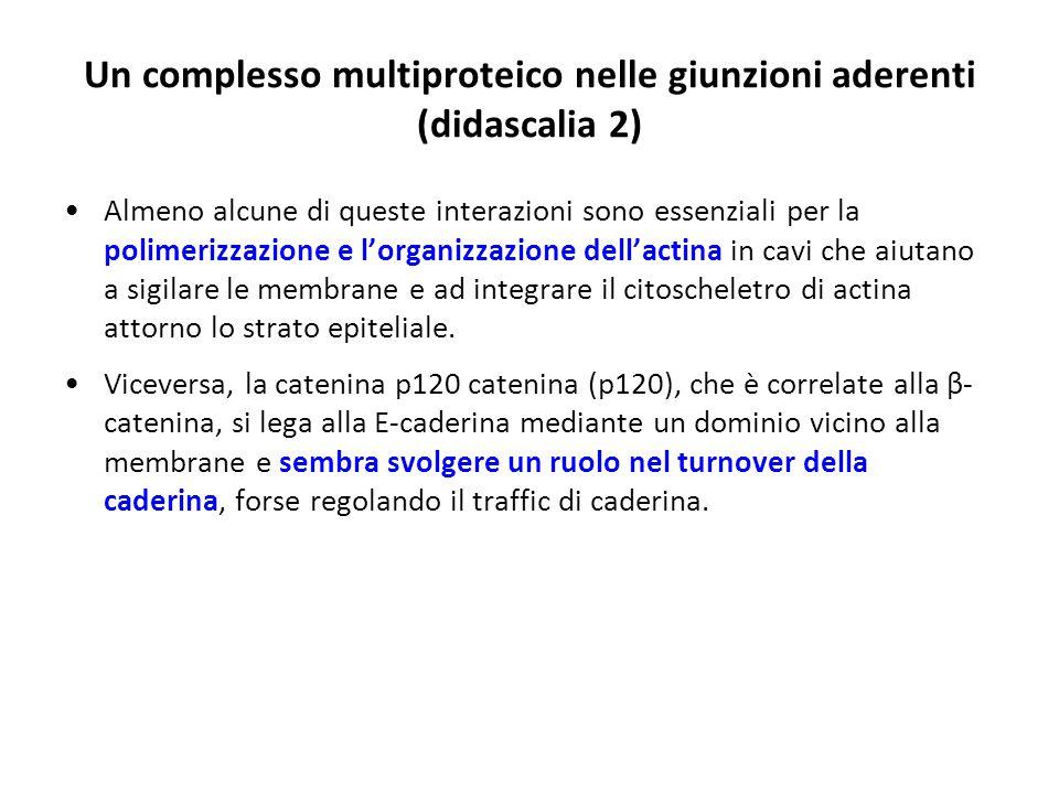 Un complesso multiproteico nelle giunzioni aderenti (didascalia 2)