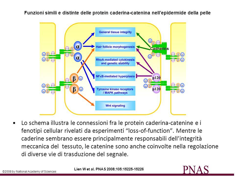 Funzioni simili e distinte delle protein caderina-catenina nell'epidermide della pelle