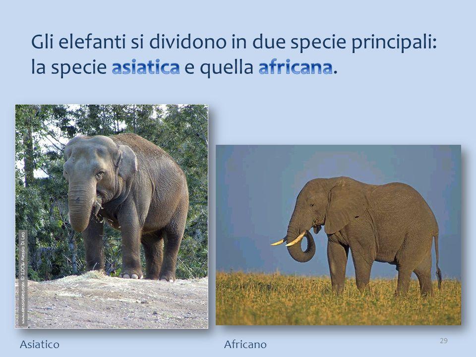 Gli elefanti si dividono in due specie principali: la specie asiatica e quella africana.