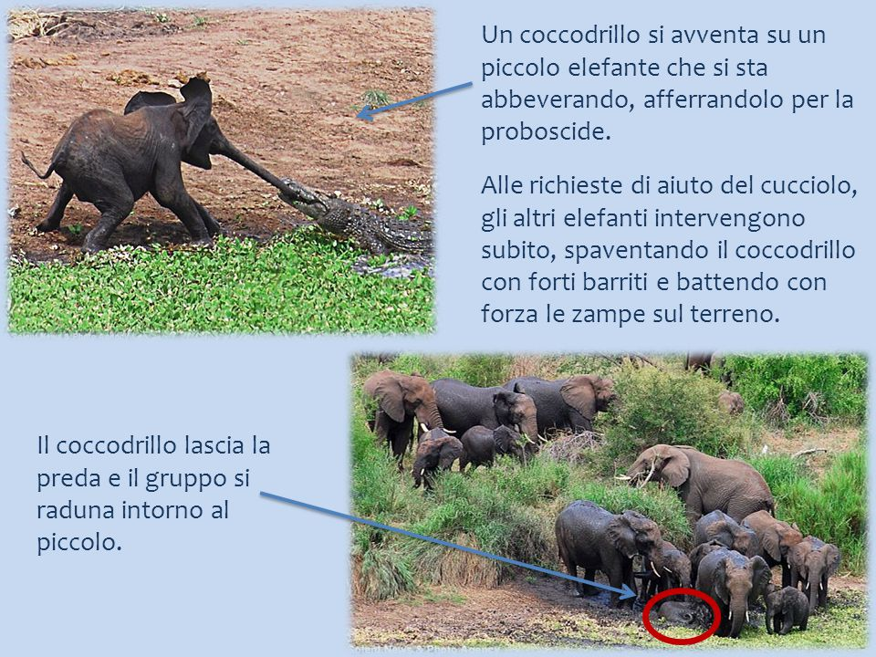 Un coccodrillo si avventa su un piccolo elefante che si sta abbeverando, afferrandolo per la proboscide.
