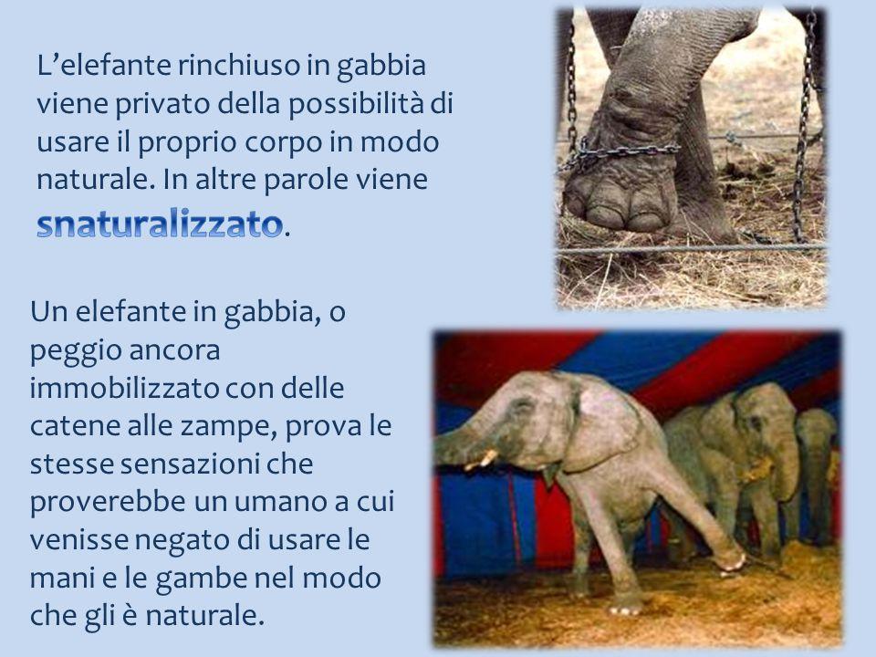 L'elefante rinchiuso in gabbia viene privato della possibilità di usare il proprio corpo in modo naturale. In altre parole viene snaturalizzato.