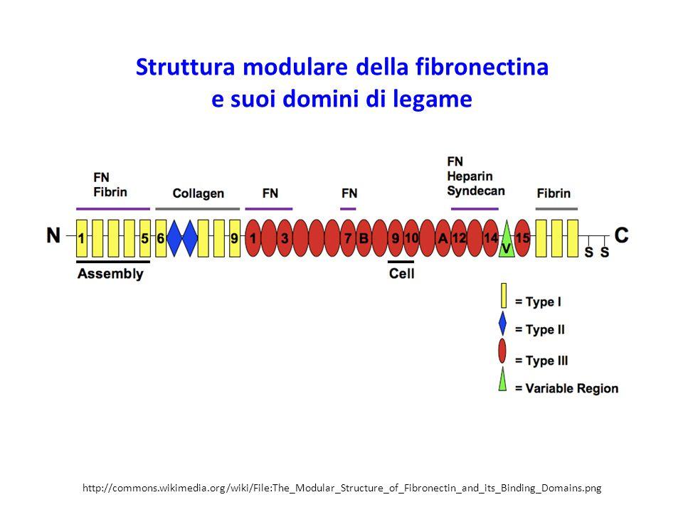 Struttura modulare della fibronectina e suoi domini di legame