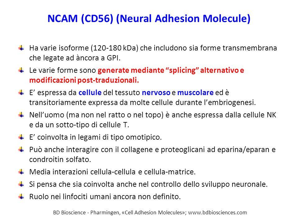 NCAM (CD56) (Neural Adhesion Molecule)