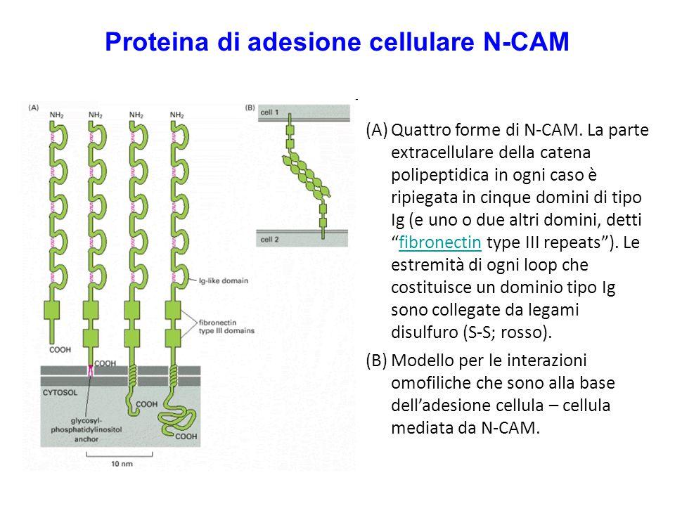 Proteina di adesione cellulare N-CAM