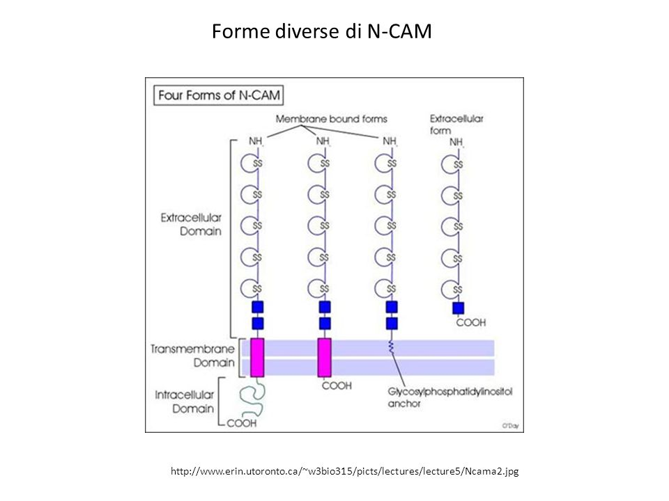 Forme diverse di N-CAM http://www.erin.utoronto.ca/~w3bio315/picts/lectures/lecture5/Ncama2.jpg