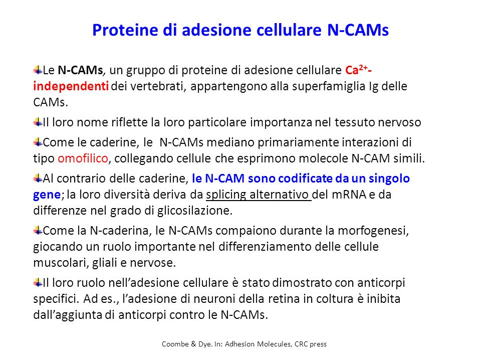 Proteine di adesione cellulare N-CAMs