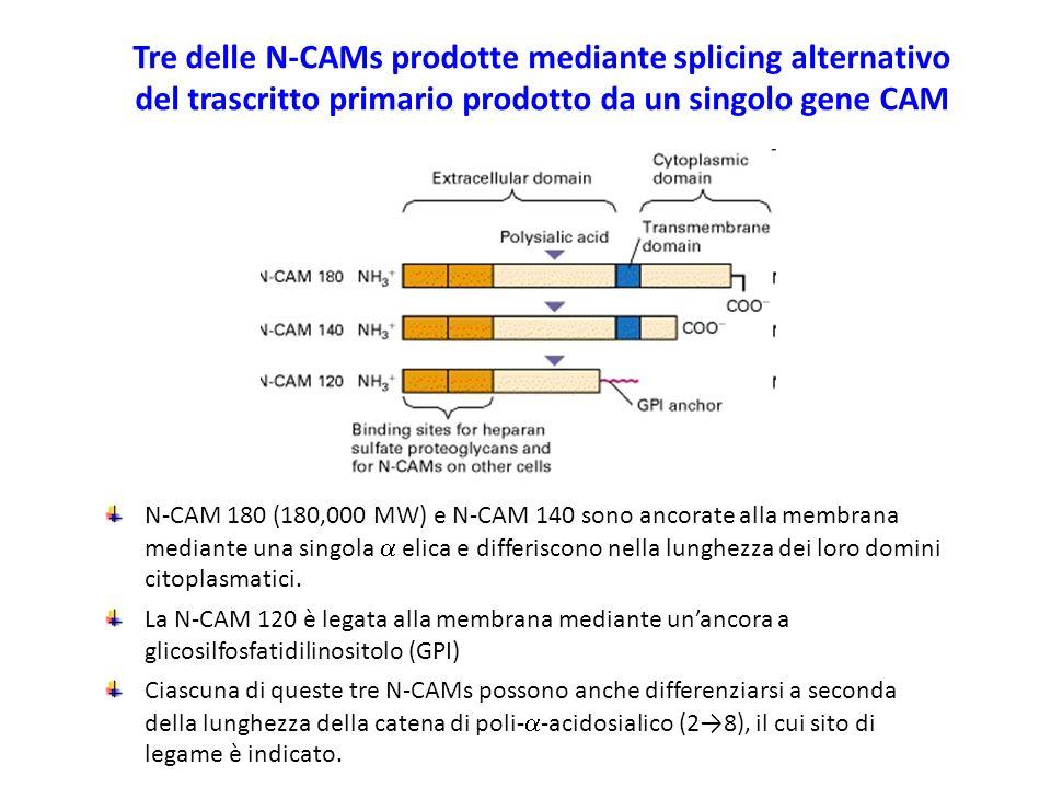 Tre delle N-CAMs prodotte mediante splicing alternativo del trascritto primario prodotto da un singolo gene CAM