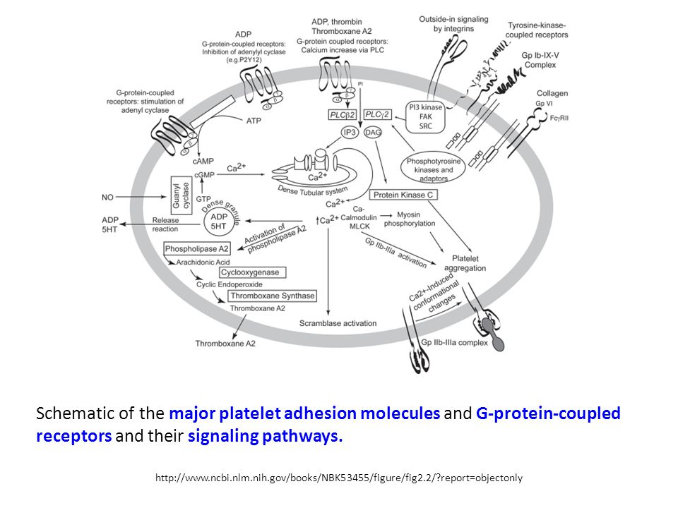 Schematic of the major platelet adhesion molecules and G-protein-coupled receptors and their signaling pathways.