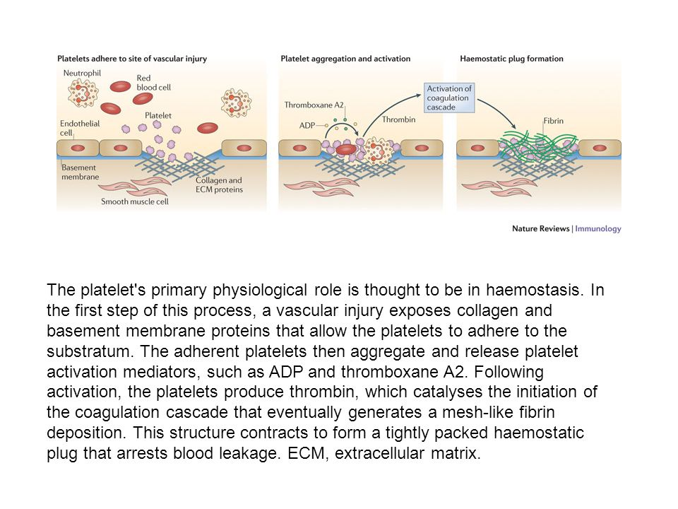 The platelet s primary physiological role is thought to be in haemostasis.