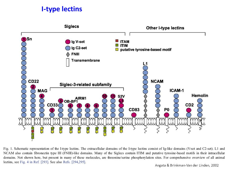 I-type lectins Angata & Brinkman-Van der Linden, 2002