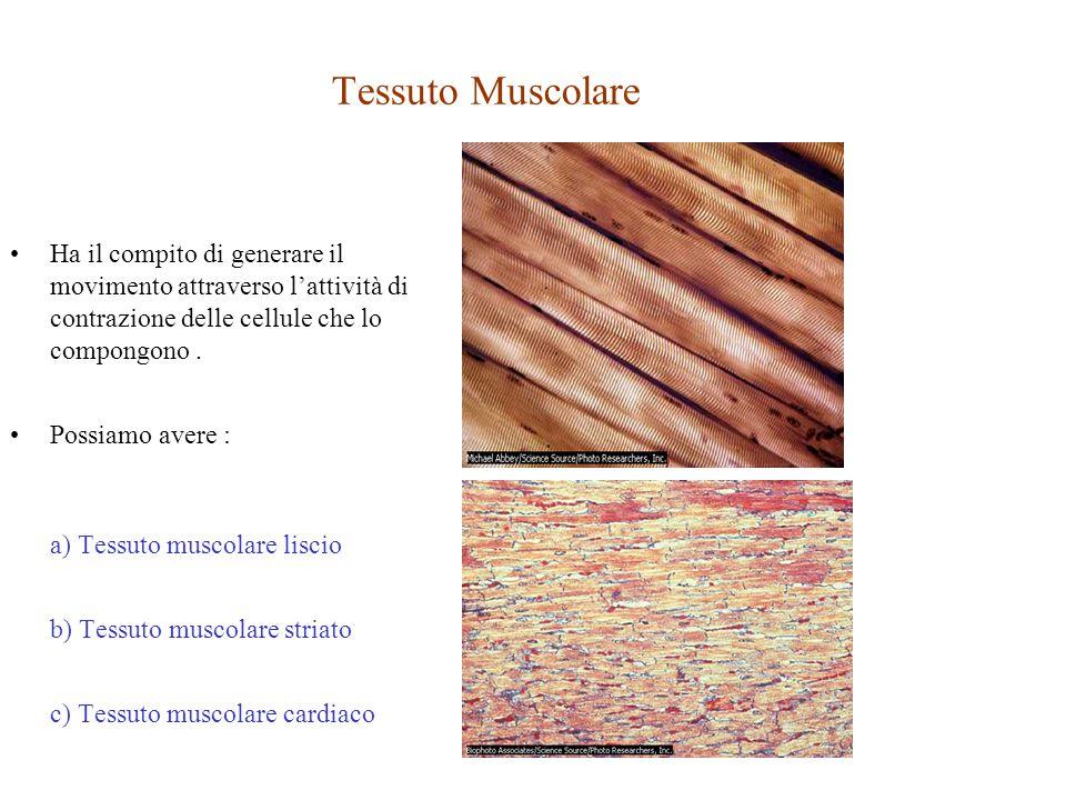 Tessuto Muscolare Ha il compito di generare il movimento attraverso l'attività di contrazione delle cellule che lo compongono .