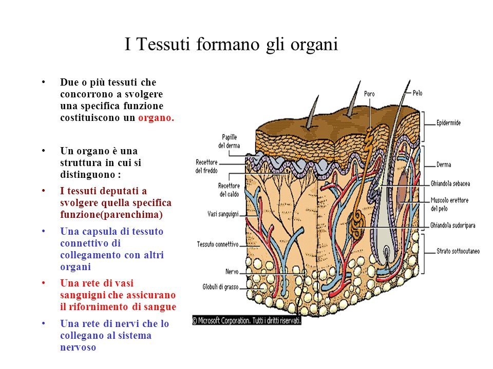 I Tessuti formano gli organi