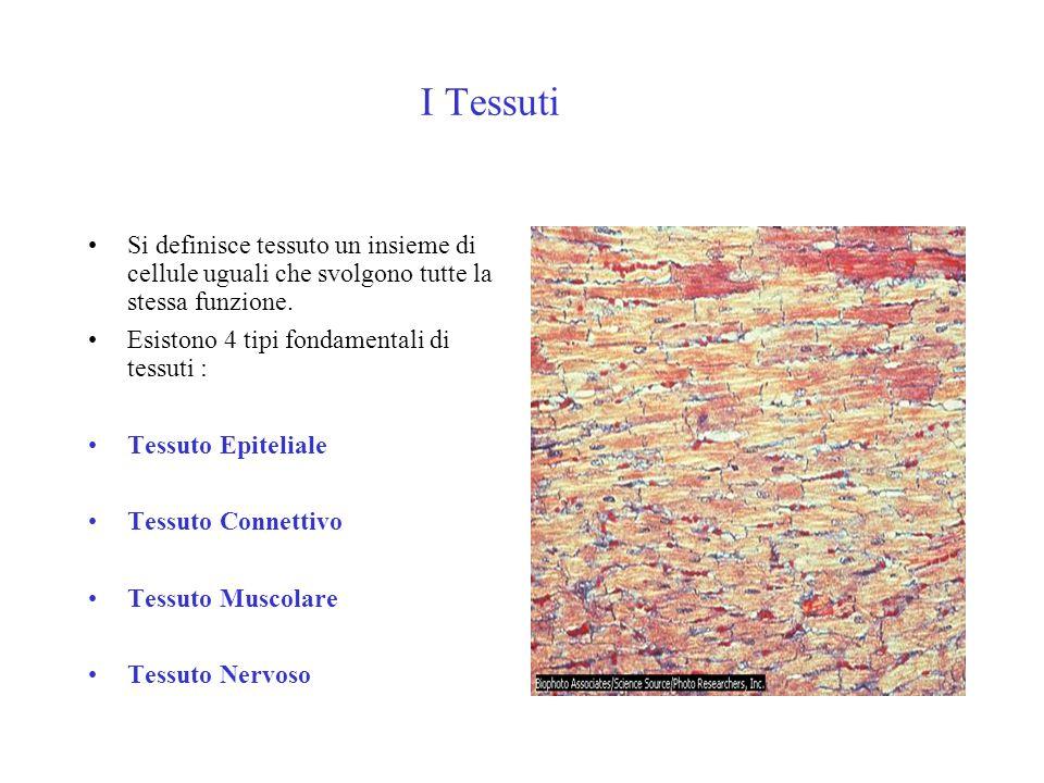 I Tessuti Si definisce tessuto un insieme di cellule uguali che svolgono tutte la stessa funzione.