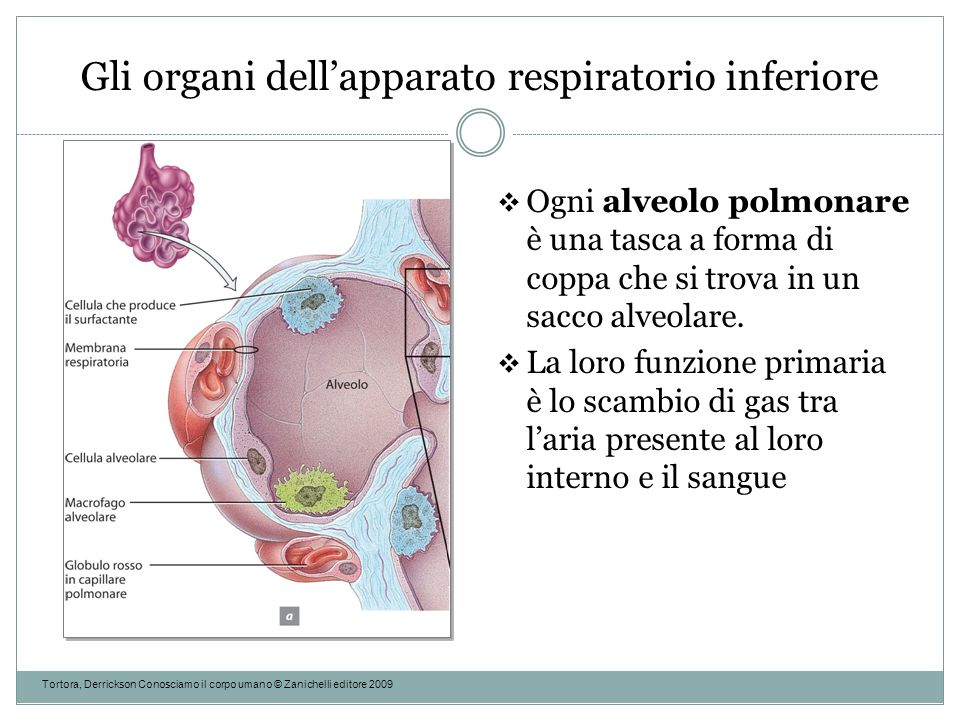 Gli organi dell'apparato respiratorio inferiore