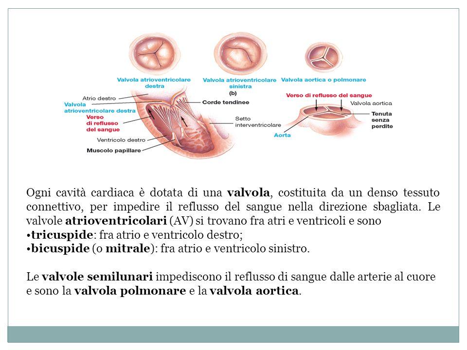 Ogni cavità cardiaca è dotata di una valvola, costituita da un denso tessuto connettivo, per impedire il reflusso del sangue nella direzione sbagliata. Le valvole atrioventricolari (AV) si trovano fra atri e ventricoli e sono