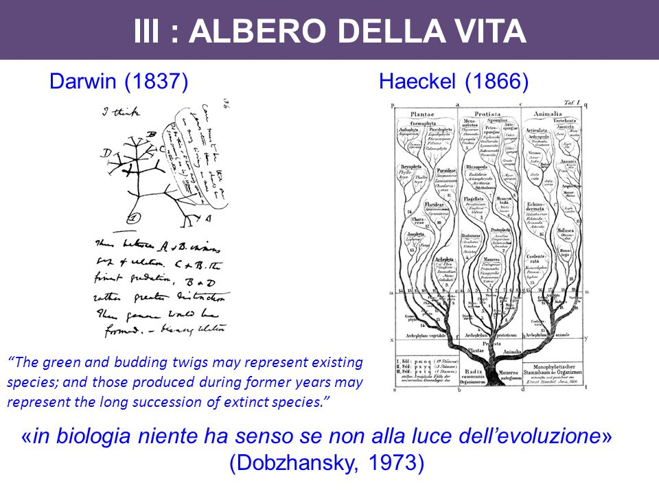 III : ALBERO DELLA VITA Darwin (1837) Haeckel (1866)