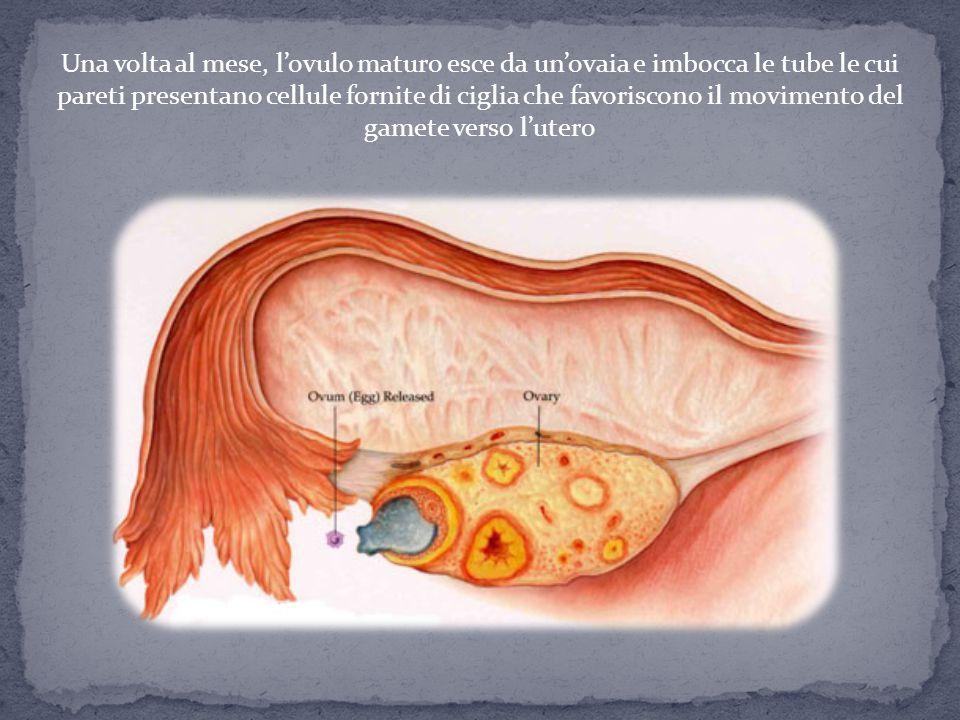 Una volta al mese, l'ovulo maturo esce da un'ovaia e imbocca le tube le cui pareti presentano cellule fornite di ciglia che favoriscono il movimento del gamete verso l'utero